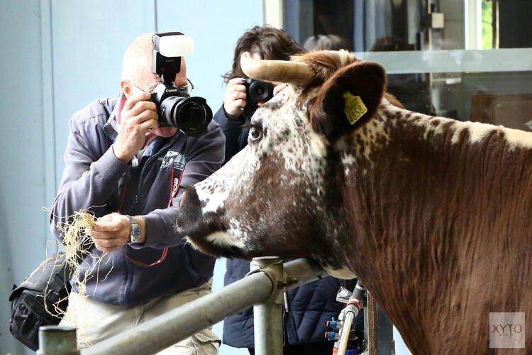 Koeienfotografiemiddag op 3 november in de stal van het Rundveemuseum